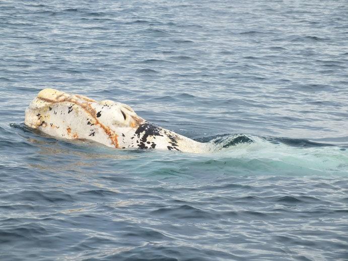 Un baleineau