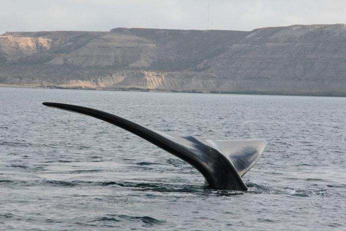 Baleines en Argentine