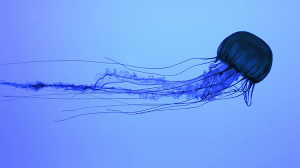 méduse-boîte