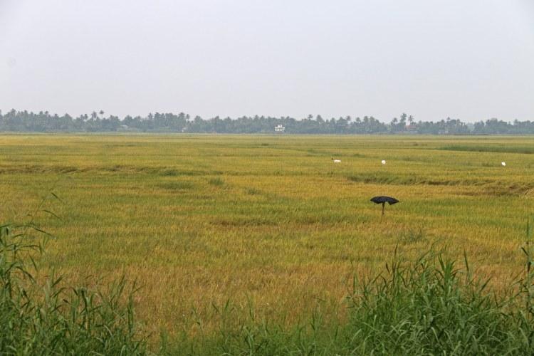 rizière au bord des canaux alleppey inde en famille