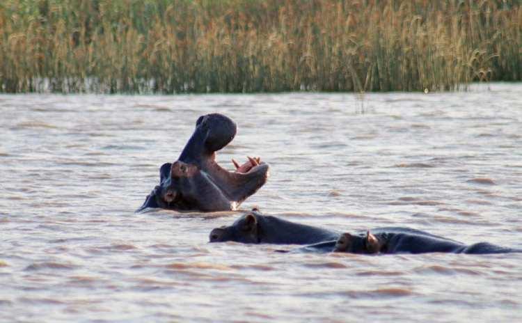 croisière hippopotames estuaire st lucia