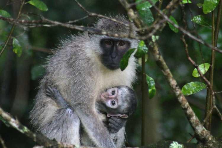 vervet monkey afrique du sud