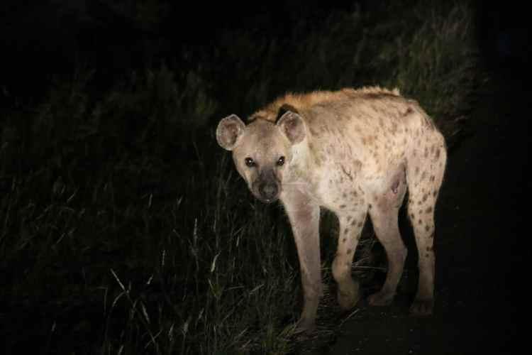 hyène parc kruger safari afrique du sud
