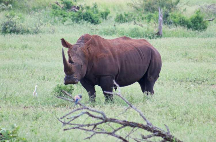 rhinocéros parc kruger safari en famille
