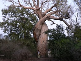 Baobabs amoureux, photo Marine