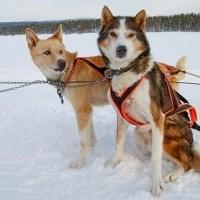 Yük Çeken Köpekler
