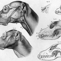 Köpeğin Anatomisi