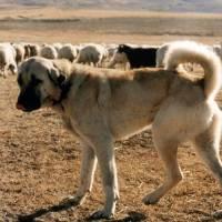 Sivas Kangal köpeği davranışları