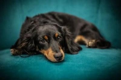 Best Orthopedic Dog Bed Lying Dog