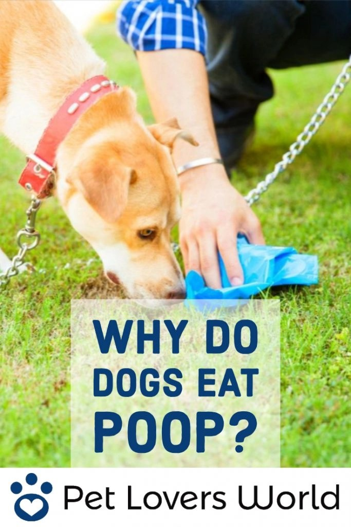 Why Do Dogs Eat Poop Pinterest Image