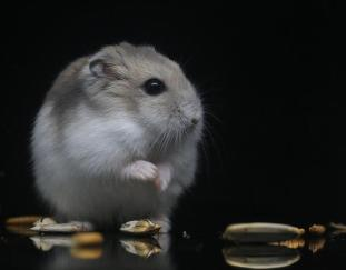 are-hamsters-rats