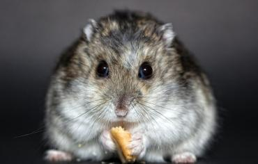 can-hamsters-eat-blueberries