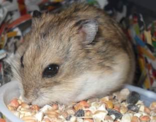 can-hamsters-eat-lettuce