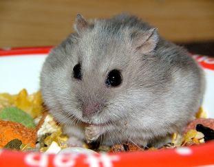 can-hamsters-swim