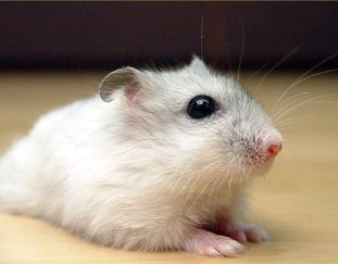 do-hamsters-hibernate