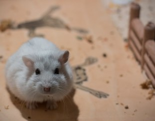 how-do-hamsters-see