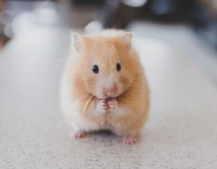 where-do-hamsters-come-from