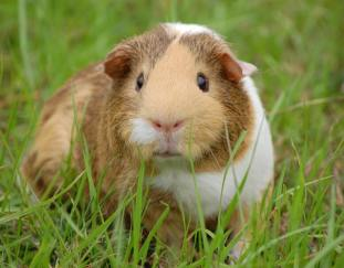 are-guinea-pigs-herbivores