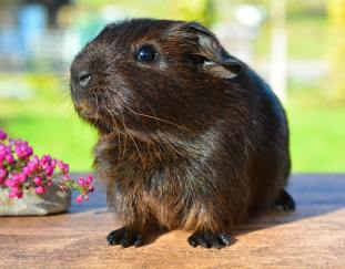 are-guinea-pigs-smelly