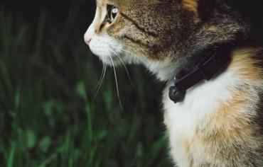 should-cats-wear-collars
