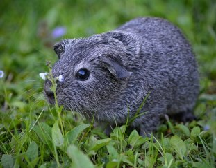 are-guinea-pigs-color-blind