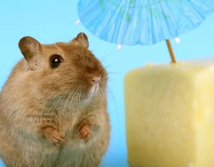 do-hamsters-eat-meat