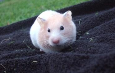 do-hamsters-have-feelings