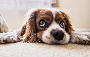 how-do-dogs-get-heartworm