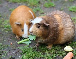 what-can-guinea-pigs-eat