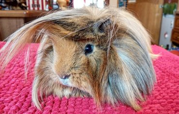 9-tips-bathing-guinea-pigs