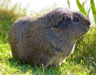 can-guinea-pigs-eat-broccoli
