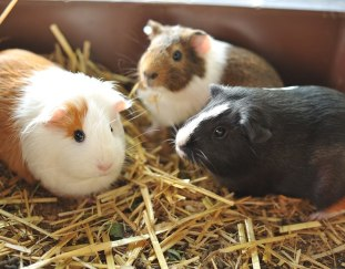 can-guinea-pigs-eat-strawberries