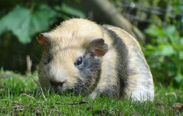 can-guinea-pigs-eat-celery