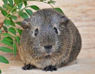 how-to-clip-guinea-pig-nails
