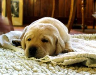 how-to-get-dog-urine-smell-out-of-carpet