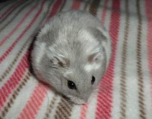 Hamster Questions Archives | Pet Love That