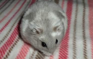 how-to-keep-hamster-warm