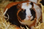 Why Do Guinea Pigs Sneeze