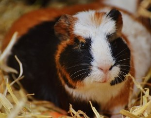 why-do-guinea-pigs-sneeze