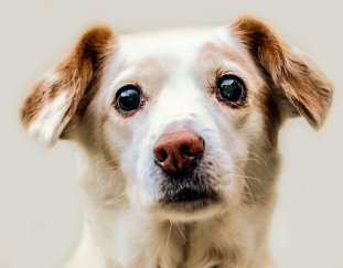how-long-does-a-dog-live-with-cushing-disease