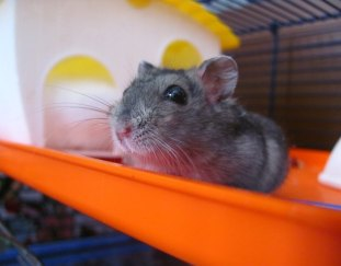 how-to-clean-a-hamster-cage