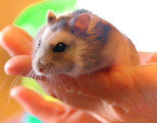 how-to-tell-if-your-hamster-likes-you