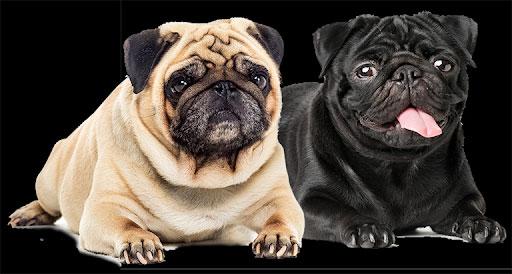 1. Giống chó cảnh Pug