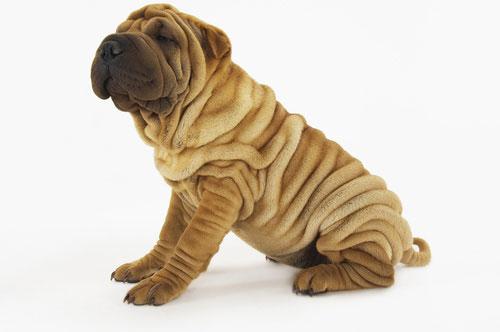 Top 8 giống chó Chó mặt xệ được yêu thích nhất