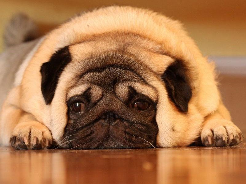 Chó pug bị béo phì