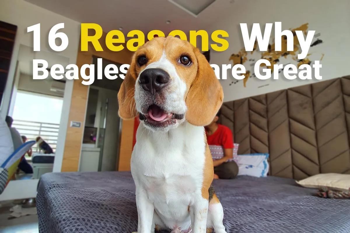 16 lý do tại sao Beagles là giống chó tuyệt vời cho mọi gia đình