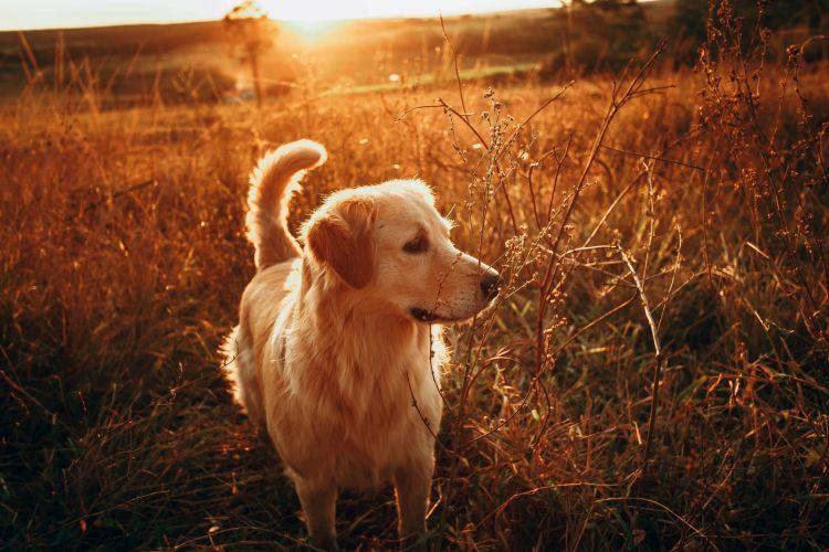 Golden in Meadow