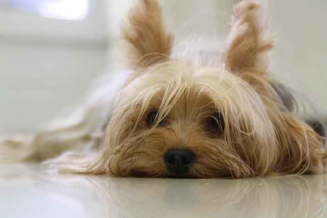 yorkshire-terrier-171701_640