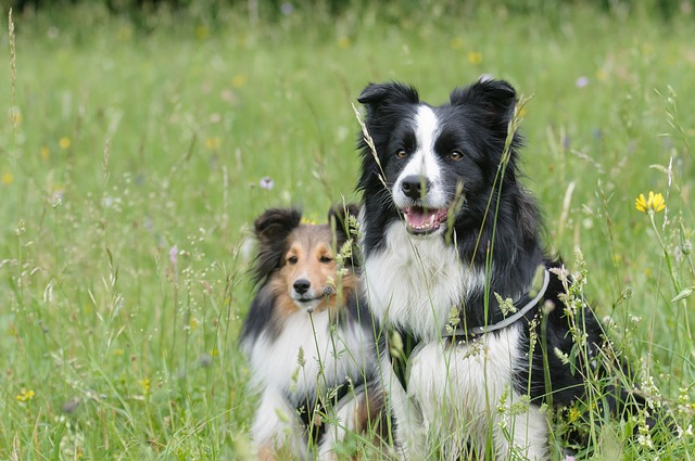 border-collie-1156818_640