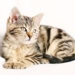 猫にフィラリア予防は必要なのか